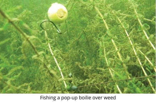 carp rigs for beginners- fishing a pop up over weed