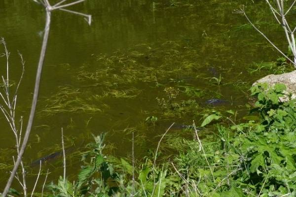good conditions for spawning carp
