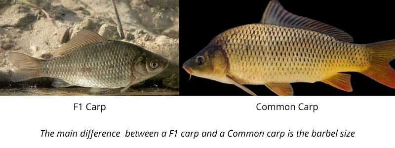 difference between f1 and other carp