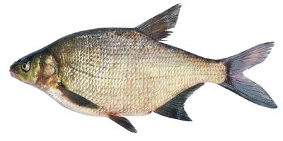 what is coarse fishing - Bream