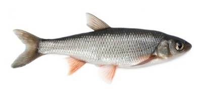 what is coarse fishing- dace