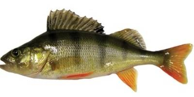 what is coarse fishing- perch