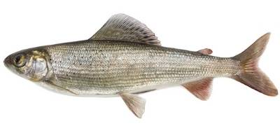 what is coarse fishing- grayling