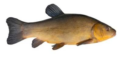 what is coarse fishing- tench